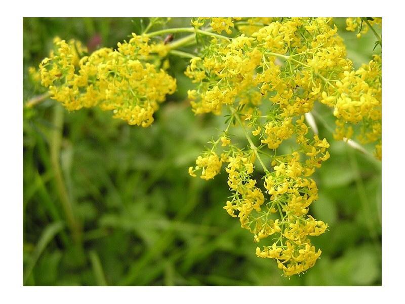 Ivanjsko Cveće